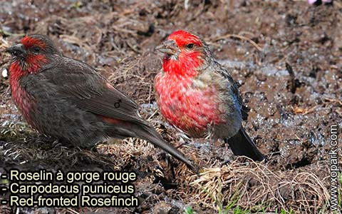 Roselin à gorge rouge – Carpodacus puniceus – Red-fronted Rosefinch – xopark-9