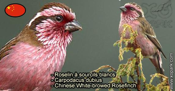 Roselin à sourcils blancs (Carpodacus dubius - Chinese White-browed Rosefinch) est une espèce des oiseaux de la famille des Fringillidés (Fringillidae)