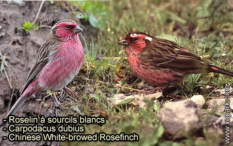 Roselin à sourcils blancs – Carpodacus dubius – Chinese White-browed Rosefinch – xopark 1