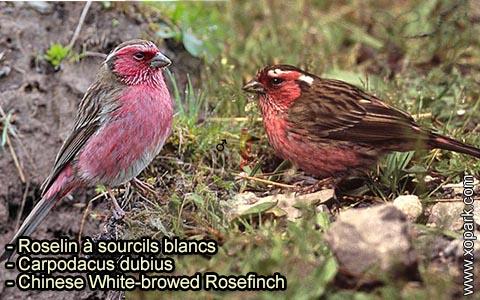 Roselin à sourcils blancs – Carpodacus dubius – Chinese White-browed Rosefinch – xopark 1