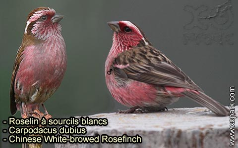 Roselin à sourcils blancs – Carpodacus dubius – Chinese White-browed Rosefinch – xopark 2