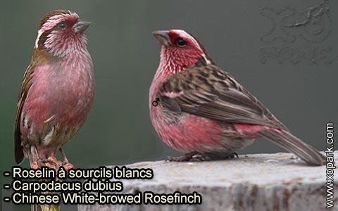 Roselin à sourcils blancs – Carpodacus dubius – Chinese White-browed Rosefinch – xopark 2