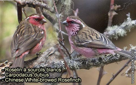 Roselin à sourcils blancs – Carpodacus dubius – Chinese White-browed Rosefinch – xopark 3