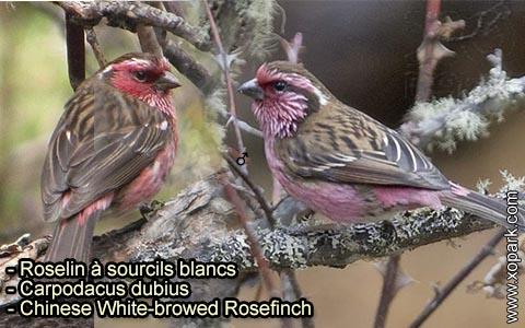Roselin à sourcils blancs – Carpodacus dubius – Chinese White-browed Rosefinch – xopark 3
