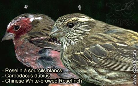 Roselin à sourcils blancs – Carpodacus dubius – Chinese White-browed Rosefinch – xopark 4