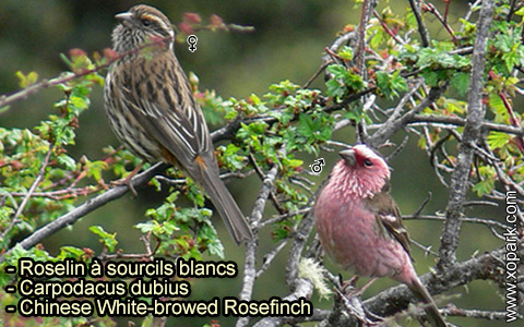 Roselin à sourcils blancs – Carpodacus dubius – Chinese White-browed Rosefinch – xopark 5