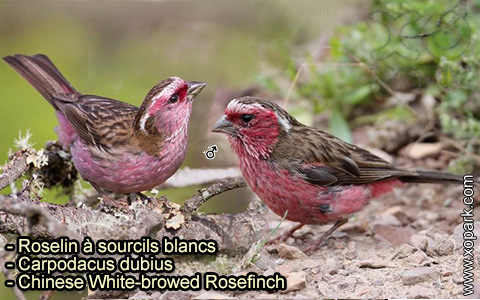 Roselin à sourcils blancs – Carpodacus dubius – Chinese White-browed Rosefinch – xopark 6