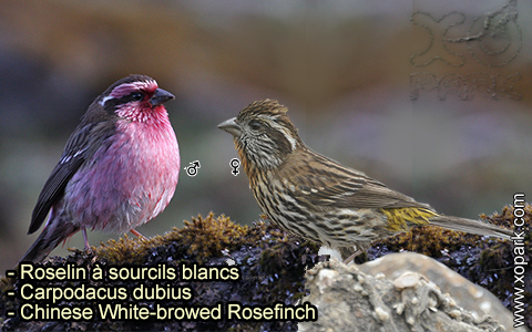 Roselin à sourcils blancs – Carpodacus dubius – Chinese White-browed Rosefinch – xopark 7