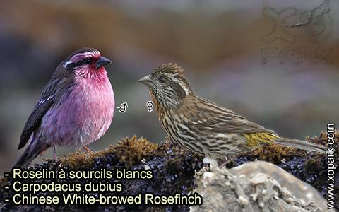Roselin à sourcils blancs – Carpodacus dubius – Chinese White-browed Rosefinch – xopark 7