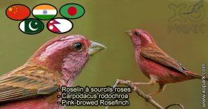 Roselin à sourcils roses (Carpodacus rodochroa - Pink-browed Rosefinch) est une espèce des oiseaux de la famille des Fringillidés (Fringillidae)