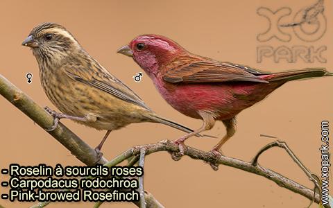 Roselin à sourcils roses –Carpodacus rodochroa – Pink-browed Rosefinch – xopark-1