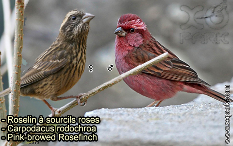Roselin à sourcils roses –Carpodacus rodochroa – Pink-browed Rosefinch – xopark-2