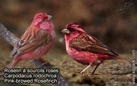 Roselin à sourcils roses –Carpodacus rodochroa – Pink-browed Rosefinch – xopark-3