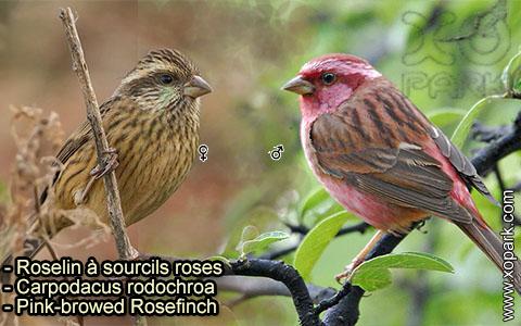 Roselin à sourcils roses –Carpodacus rodochroa – Pink-browed Rosefinch – xopark-4
