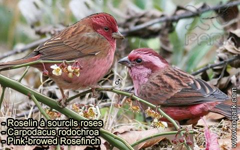 Roselin à sourcils roses –Carpodacus rodochroa – Pink-browed Rosefinch – xopark-5