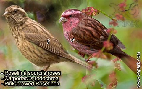 Roselin à sourcils roses –Carpodacus rodochroa – Pink-browed Rosefinch – xopark-6