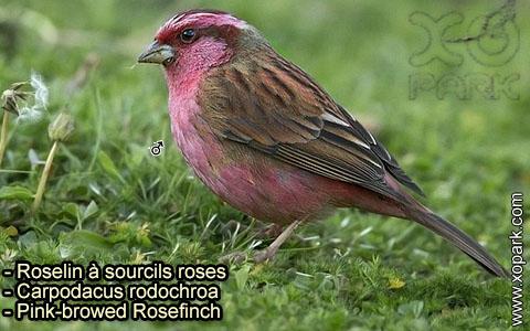 Roselin à sourcils roses –Carpodacus rodochroa – Pink-browed Rosefinch – xopark-7