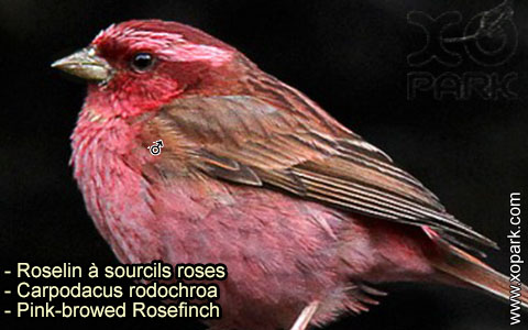 Roselin à sourcils roses –Carpodacus rodochroa – Pink-browed Rosefinch – xopark-8