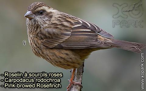 Roselin à sourcils roses –Carpodacus rodochroa – Pink-browed Rosefinch – xopark-9