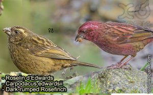 Roselin d'Edwards (Carpodacus edwardsii - Dark-rumped Rosefinch) est une espèce des oiseaux de la famille des Fringillidés (Fringillidae)