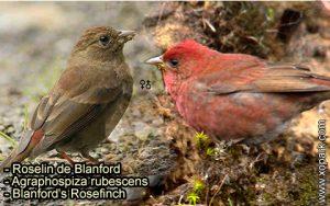 Roselin de Blanford (Agraphospiza rubescens - Blanford's Rosefinch) est une espèce des oiseaux de la famille des Fringillidés (Fringillidae)