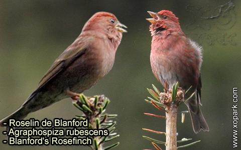 Roselin de Blanford –Agraphospiza rubescens – Blanford's Rosefinch – xopark-4
