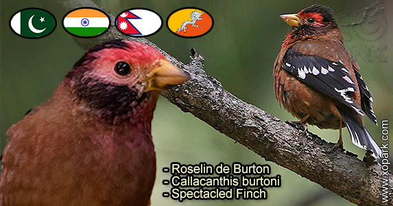Roselin de Burton (Callacanthis burtoni - Spectacled Finch) est une espèce des oiseaux de la famille des Fringillidés (Fringillidae)