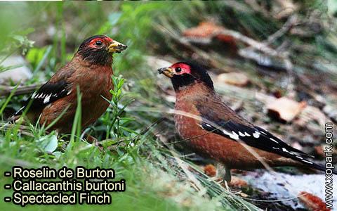 Roselin de Burton –Callacanthis burtoni – Spectacled Finch – xopark-4