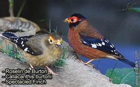 Roselin de Burton –Callacanthis burtoni – Spectacled Finch – xopark-5