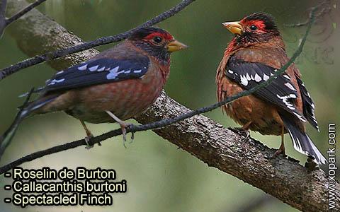 Roselin de Burton –Callacanthis burtoni – Spectacled Finch – xopark-6