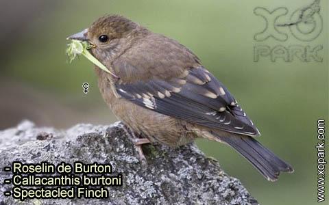 Roselin de Burton –Callacanthis burtoni – Spectacled Finch – xopark-7