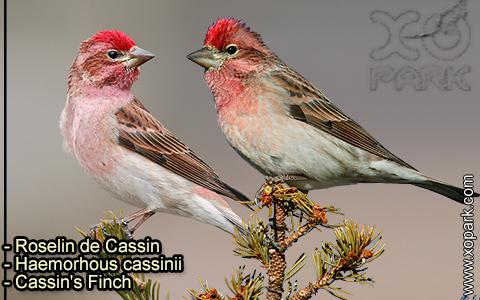Roselin de Cassin –Haemorhous cassinii–Cassin's Finch – xopark-10