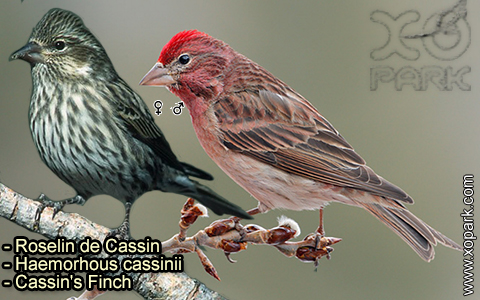 Roselin de Cassin –Haemorhous cassinii–Cassin's Finch – xopark-3
