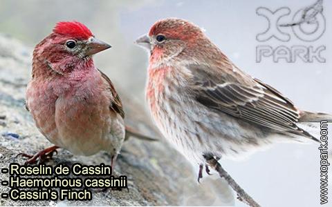Roselin de Cassin –Haemorhous cassinii–Cassin's Finch – xopark-4