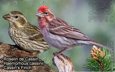 Roselin de Cassin –Haemorhous cassinii–Cassin's Finch – xopark-5