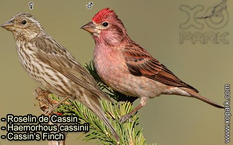 Roselin de Cassin –Haemorhous cassinii–Cassin's Finch – xopark-6
