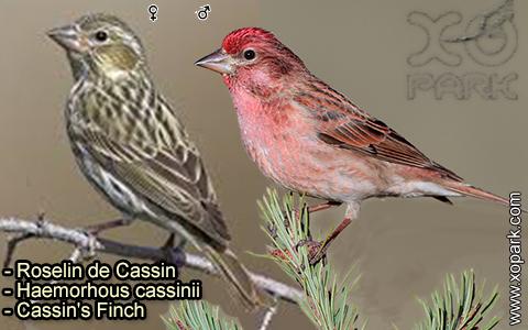 Roselin de Cassin –Haemorhous cassinii–Cassin's Finch – xopark-8