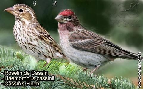 Roselin de Cassin –Haemorhous cassinii–Cassin's Finch – xopark-9