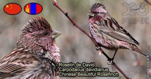 Roselin de David (Carpodacus davidianus - Chinese Beautiful Rosefinch) est une espèce des oiseaux de la famille des Fringillidés (Fringillidae)