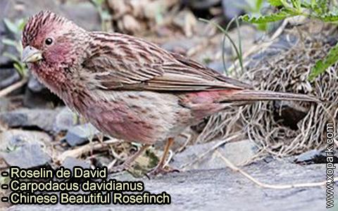 Roselin de David –Carpodacus davidianus – Chinese Beautiful Rosefinch – xopark-1