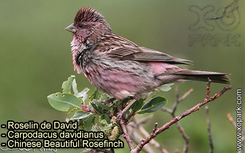 Roselin de David –Carpodacus davidianus – Chinese Beautiful Rosefinch – xopark-2