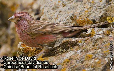 Roselin de David –Carpodacus davidianus – Chinese Beautiful Rosefinch – xopark-3