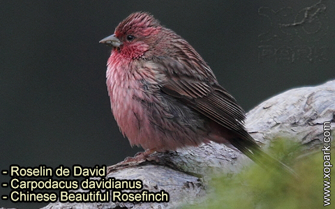 Roselin de David –Carpodacus davidianus – Chinese Beautiful Rosefinch – xopark-5