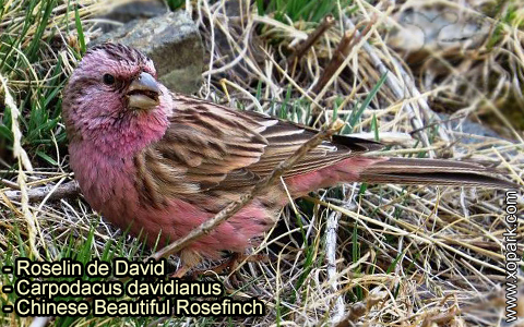 Roselin de David –Carpodacus davidianus – Chinese Beautiful Rosefinch – xopark-6