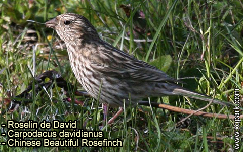 Roselin de David –Carpodacus davidianus – Chinese Beautiful Rosefinch – xopark-7