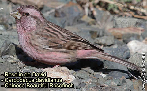Roselin de David –Carpodacus davidianus – Chinese Beautiful Rosefinch – xopark-8