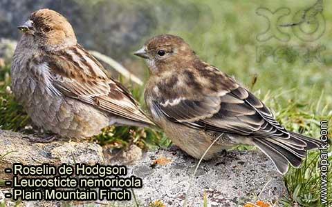 Roselin de Hodgson –Leucosticte nemoricola – Plain Mountain Finch – xopark-1