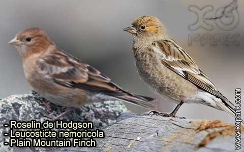 Roselin de Hodgson –Leucosticte nemoricola – Plain Mountain Finch – xopark-2