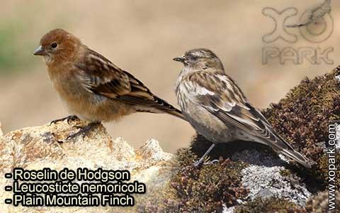 Roselin de Hodgson –Leucosticte nemoricola – Plain Mountain Finch – xopark-3
