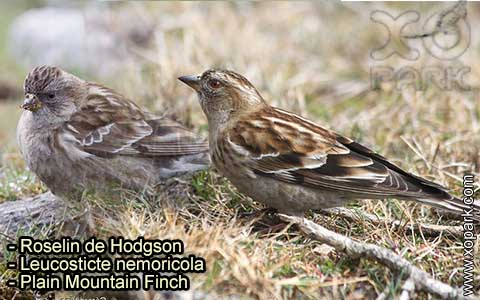 Roselin de Hodgson –Leucosticte nemoricola – Plain Mountain Finch – xopark-4